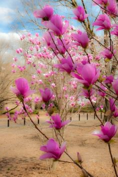 Japanese Magnolias I want these on the property they are so pretty to see bloom.