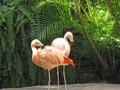 Flamingos in the botanical gardens of Sunken Gardens in St. Petersburg, FL