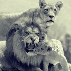 Lion family, don't mess with the best Beautiful Cats, Animals Beautiful, Cute Animals, Grand Chat, Lion Tattoo Sleeves, Lioness Tattoo, Lion Family, Lion And Lioness, Lion Love