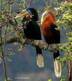 Rufous Necked Hornbills. Female on the left, male on the right.