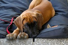 Puppy Beduin