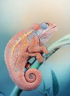 Chameleon by Halex
