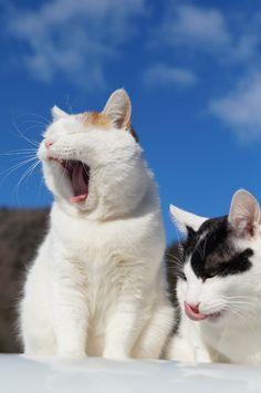 A Shiro yawn!