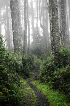 "Perfect Path This is one of my favorite photos I've taken (Point Reyes, California) from ""Steep Ravine"" cr.🇺🇸 Perfect Path This is one of my favorite photos I've taken (Point Reyes, California) from ""Steep Ravine"" cr. Beautiful Forest, Beautiful World, Beautiful Places, Forest Path, Forest Trail, Misty Forest, Tree Forest, Mystique, Walk In The Woods"