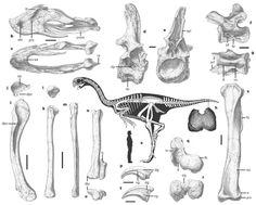 GIGANTORAPTOR   Skeletal anatomy of Gigantoraptor holotype (LH V0011)