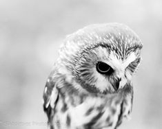 grey and white owl