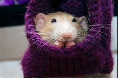 SO TINY. SO CUTE. | Marty The Rat Will Change How You Feel About Pet Rats