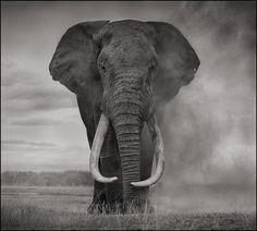 Nick Brandt's photogrpah Elephant Walking Through Dust.