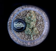 Paradise Seeds - The Finest Cannabis Seed Collection - Since 1994 Welcome to our website! Here you will find everything you need to know about Paradise Seeds, Organic Seeds, Medical Cannabis, Genetics, Paradise, Collection, Heaven