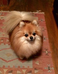 Lucie the Pomeranian pomeranian puppy pomeranian husky pomeranian . The post 9 Wildly Cute Pomeranian Haircut Styles To Tame The Fluff appeared first on Dogs and Diana. Pomeranian Memes, Toy Pomeranian, Pomeranian Haircut, Black Pomeranian, Pomeranian Hairstyles, Chihuahua, Pomchi Puppies, Cute Puppies, Cute Dogs