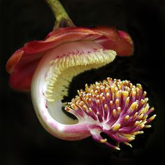 Diane Cowling-Franklin    Diane's Photography Blog   Flower of the Cannon Ball Tree (Couroupita guianensis)