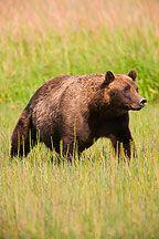 Male Grizzly Bear Photos