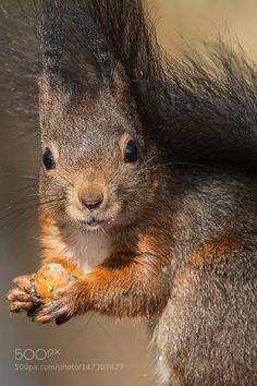 arieszen:  Red Squirrel