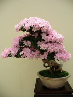 Bonsai is the art of keeping miniature trees. These are flowers bonsai tree, which look huge and great in any color.The bonsai tree is a great creature of God. Bonsai Acer, Bonsai Plants, Bonsai Garden, Bonsai Trees, Ikebana, Plantas Bonsai, Bonsai Forest, Flower Festival, Miniature Trees
