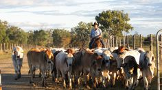 Food for thought - Rise of the Mighty Brahman - Rockhampton's role in the Beef Industry