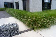 pennisetum alopecuroides 'hameln' garden design with boxwood border Modern Landscaping, Landscaping Plants, Front Yard Landscaping, Landscape Borders, Landscape Design, Outdoor Plants, Outdoor Gardens, Modern Garden Design, Ornamental Grasses
