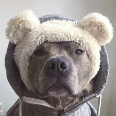 Pit Bull Puppies I need this for my baby Check, mommies poor baby freezes! Pitbull Terrier, Amstaff Terrier, Cute Puppies, Cute Dogs, Dogs And Puppies, Funny Dogs, Doggies, Animals And Pets, Funny Animals