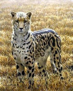 King cheetah ~ most beautiful markings. I would love to see one!!