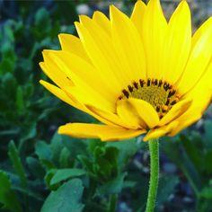 Spaanse Margriet in bloei in januari! #geel