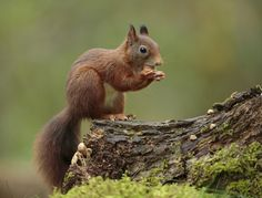 Photo Red squirrel/ Eekhoorn by wim claes on 500px