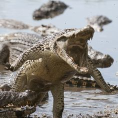 The Cuban crocodile is a middle-sized species that differs from other crocodiles by featuring armored scales, a brightly colored body and long, strong legs. Les Reptiles, Reptiles And Amphibians, Mammals, Animals Of The World, Animals And Pets, Cute Animals, Nature Animals, Interesting Animals, Alligators