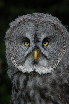 Linton Zoo: Great Grey Owl by —CWH— on Flickr.
