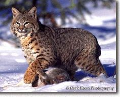 Mammals of Washington  Bobcat (Lynx rufus)