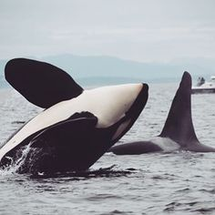 Orcas are so beautiful