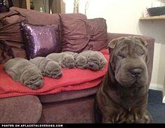 Proud momma of her five sweet little Shar Pei puppies