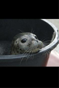 """Młodziutka foczka """"Thies"""" czeka na ponowne wypuszczenie na wolność w miejscowości Friedrichskoog, Niemcy."""
