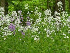 Wabash Wildflowers #5