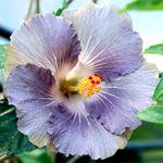 Exotic Hibiscus 'Rain Drop'