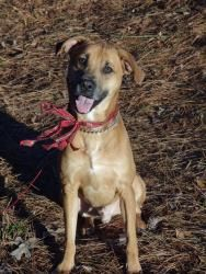 Rascal is an adoptable Rhodesian Ridgeback Dog in Peachtree City, GA. Rascal is such a good boy! He loves to carry a ball in his mouth and run around in circles. He's already neutered and heartworm nega...