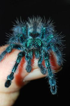Antilles Pinktoe Tarantula - Avicularia versicolor babies start off blue like this. Cool Insects, Bugs And Insects, Beautiful Creatures, Animals Beautiful, Spiders And Snakes, Cool Bugs, Itsy Bitsy Spider, A Bug's Life, Beautiful Bugs