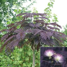 The Persian Silk Tree (Albizia Julibrissin 'Summer Chocolate') Deciduous Trees, Trees And Shrubs, Flowering Trees, Trees To Plant, Plant Leaves, Black Garden, Purple Garden, Tropical Garden, Garden Shrubs