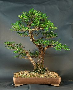 Google Image Result for http://omeubonsai.com/files/artigos/sokan.jpg