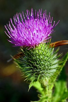 O flower of Scotland...Ah my dad made sure I  knew I was of Scottish Heritage.....Miss you Dad!
