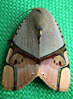 Noctuid moth Ramadasa pavo is a moth of the Noctuidae family. Cool Insects, Flying Insects, Bugs And Insects, A Bug's Life, Wild Life, Beautiful Bugs, Beautiful Butterflies, Papillon Butterfly, Cool Bugs