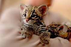 Little ocelot - (#117839) - High Quality and Resolution Wallpapers on hqWallbase.com