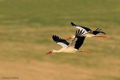 Agamon Hula, israel - white stork - Photo: Yossi Eshbol https://www.facebook.com/AgamonKKL/photos_stream
