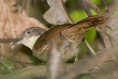 Barranqueiro-do-nordeste (Automolus lammi)