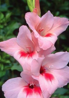 'Dauntless' Gladiolus