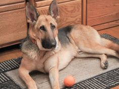 BULLET - from Give a Dog a Home - San Antonio German Shepherd Rescue / 3yr. old male, gentle, runs like the wind and loves to play ball, loves people