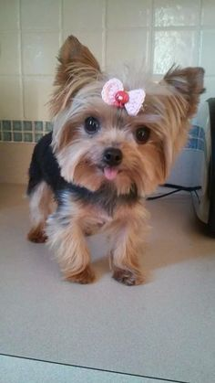 Precious little Yorkie Lucy Teacup Puppies, Cute Puppies, Cute Dogs, Dogs And Puppies, Doggies, Yorshire Terrier, Silky Terrier, Animals And Pets, Baby Animals