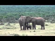 A video taken at the Addo Elephant Park in South Africa shows a very happy elephant family in a tender moment. Watch the adorable elephant video here. Elephant Gif, Elephant Park, Wild Elephant, Elephant Family, Elephant Love, African Elephant, Elephant Videos, Baby Elephants, Most Endangered Animals