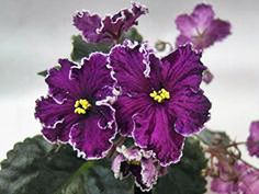 African Violet 'Black Tie Affair - standard with nearly black leaves, dark burgundy and purple fantasy flowers with white geneva edging. Plants, leaves, and leafpots are available. Perennial Flowering Plants, Blooming Plants, Begonia, Violet Plant, Saintpaulia, Sweet Violets, Black Tie Affair, Black Leaves, Exotic Plants