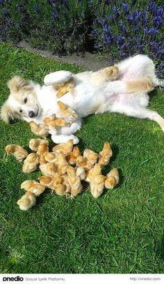 Henüz doğmamış civcivler, kabukların arkasından anneleri ve kardeşleri ile iletişim kurabilir.