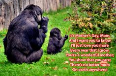 Happy Mothers Day Wishes Mothers Day Images Day Images 2017 Mothers day 2017 Images 2017 Images Mothersday Images Mother's day Pics # Mothers Day 2017 Pics Happy Mothers Day Wishes, Happy Mothers Day Images, Where Do Gorillas Live, Female Gorilla, Baby Gorillas, Cincinnati Zoo, Zoo Keeper, Mountain Gorilla, Facts For Kids