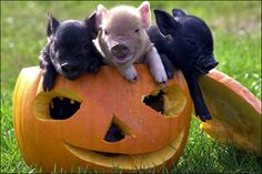 2 of my fav! Halloween and piglets :)