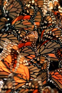Monarch #Butterflies